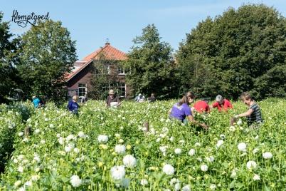Dahlia's plukken - picking the flowers